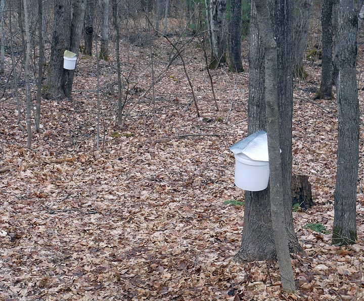 Taps and Buckets on Maple Trees